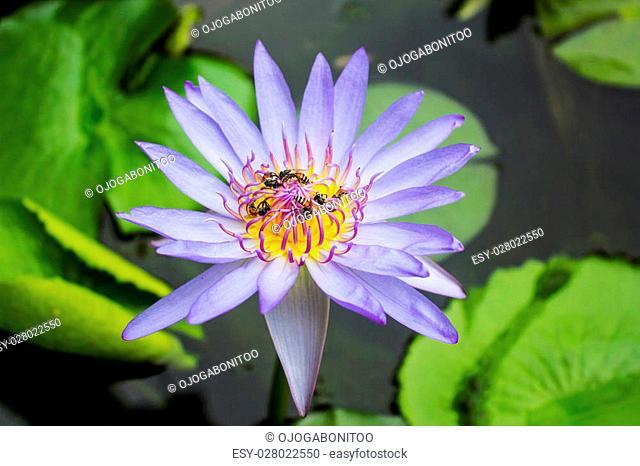Purple lotus with bee