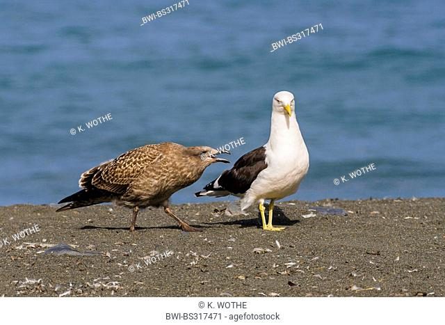 southern black-backed gull (Larus dominicanus), with chick, begging for food, Antarktis