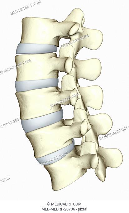 The lumbar vertebrae