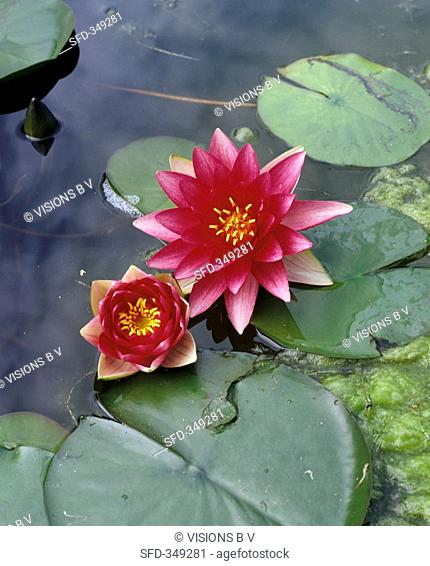 Two water lilies in water