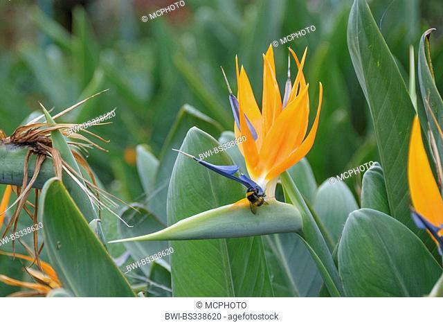 crane flower, bird of paradise flower, geel piesang (Strelitzia reginae), flower with humble bee