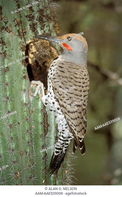 Gilded Flicker (Colaptes chrysoides), at Nest Hole in Saguaro Cactus, AZ