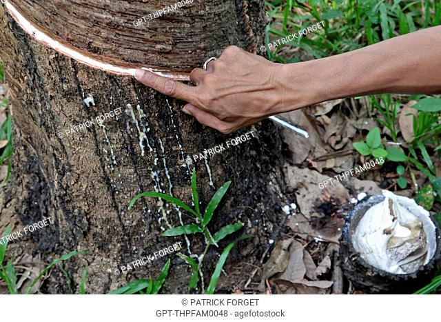 HARVESTING LATEX BY PUTTING A TAP HOLE IN THE BARK OF THE RUBBER TREE, THAILAND, ASIA