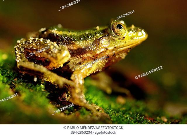 Young common frog (Euphlyctis aloysii) in Fort Kochi, Kerala, India