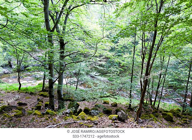 Beechwood near Puente Ra stream in Villoslada de Cameros  Natural Park of Sierra Cebollera  Logroño  La Rioja  Spain