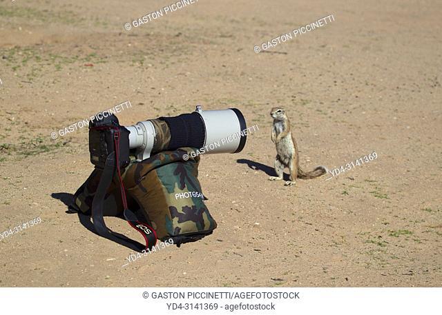 Ground Squirrel (Xerus inauris), snooping in one of my cameras, Kgalagadi Transfrontier Park, Kalahari desert, South Africa/Botswana
