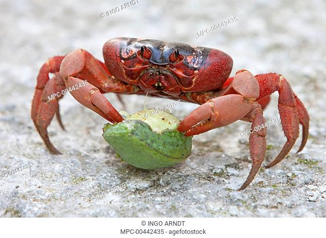 Christmas Island Red Crab (Gecarcoidea natalis) feeding on Tahitian Chestnut (Inocarpus fagifer) fruit, Christmas Island, Indian Ocean, Territory of Australia