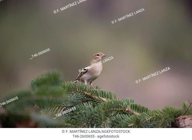 Female Chaffinch (Fringilla coelebs). Dl photographed in Montilla Palancar Cuenca