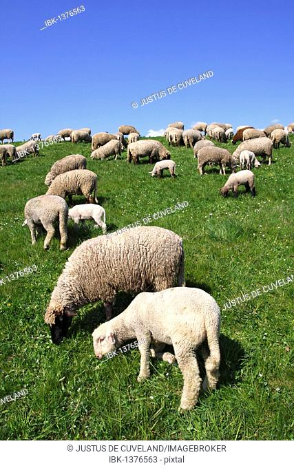 Domestic sheep (Ovis ammon f. aries ), ewes with lambs on a dyke, Wisch at the Elbe river, Altes Land region, Lower Saxony, Germany