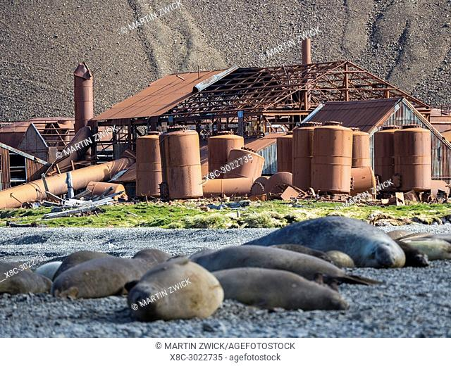 Ruins of Stromness Whaling Station in South Georgia with harem of Southern elephant seal (Mirounga leonina) in the foreground