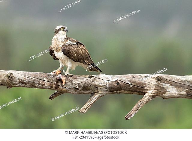 Osprey (Pandion haliaetus) adult male perched with fish in rain