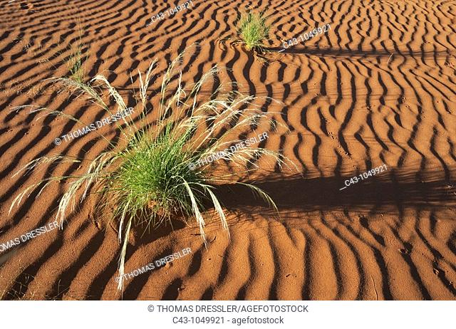 Namibia - Green Bushman grass Stipagrostis sp  in March during the rainy season in the Namib Desert
