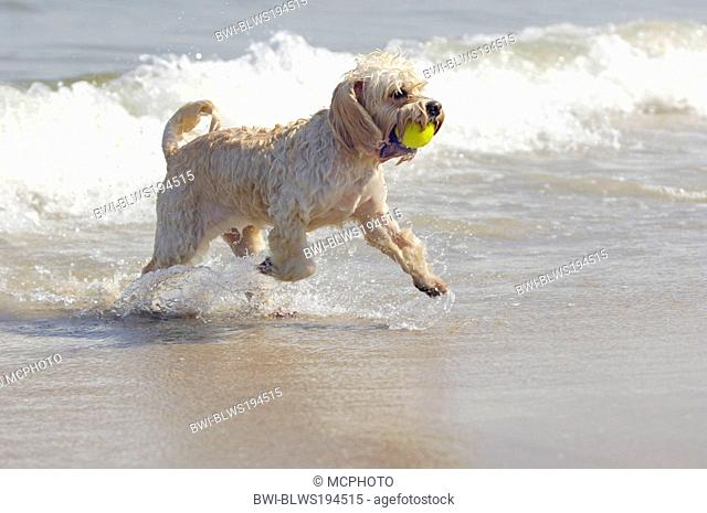 mixed breed dog Canis lupus f. familiaris, with tennis ball in muzzle at the beach