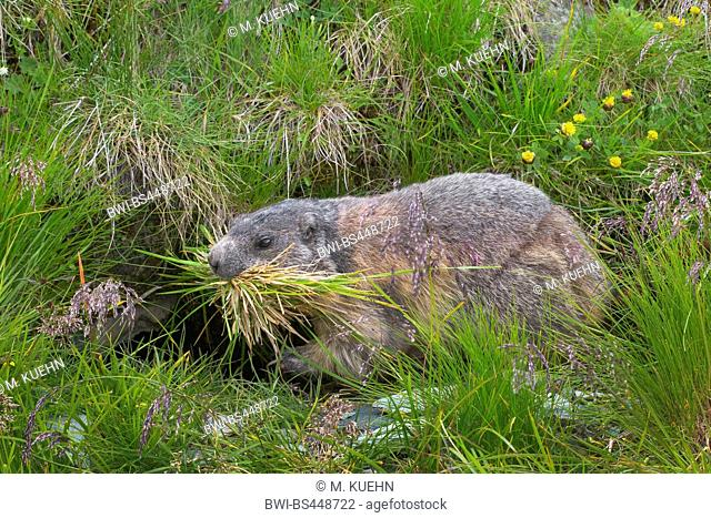 alpine marmot (Marmota marmota), with grass in the mouth at the burrow, side view, Austria