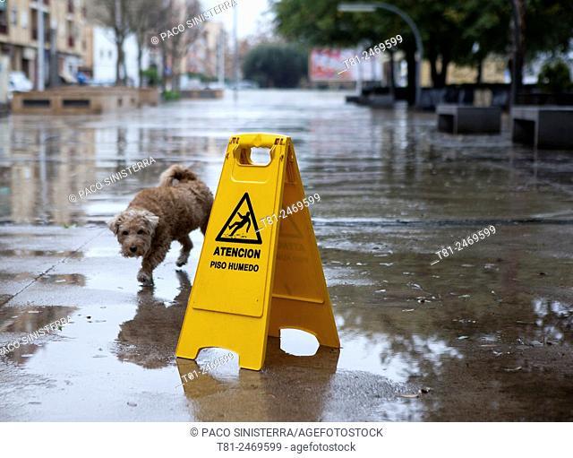 Dog walking along wet street, Spain