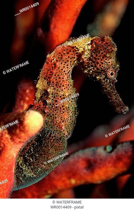 Longsnout Seahorse, Hippocampus reidi, Caribbean Sea, Belize