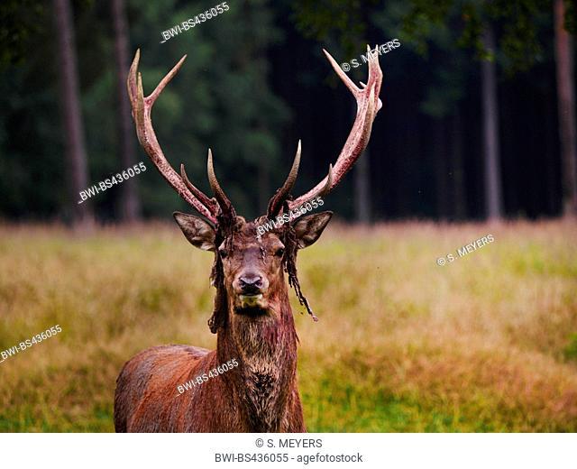 red deer (Cervus elaphus), after rubving off the velvet, Germany, Saxony
