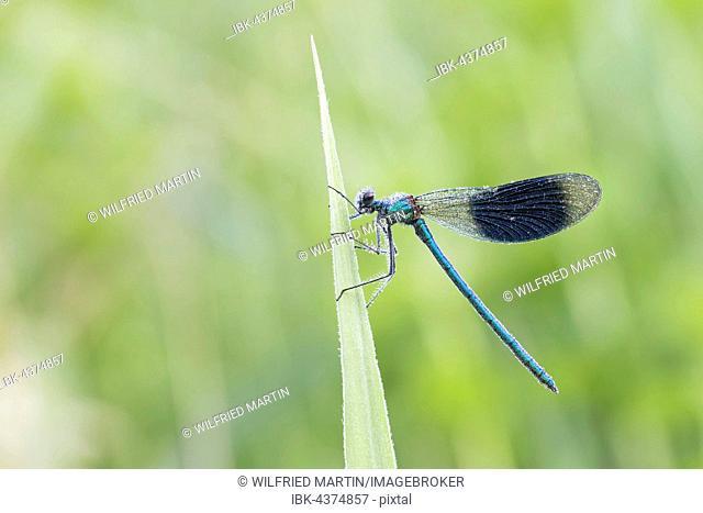 Male banded demoiselle (Calopteryx splendens) on reed, Hesse, Germany