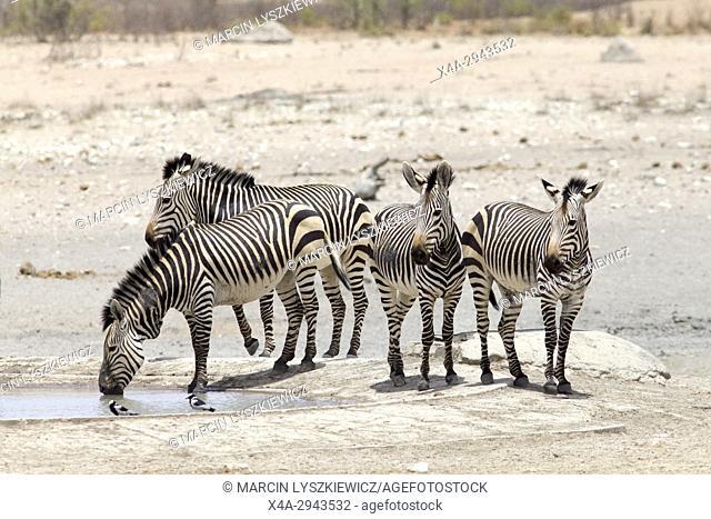 Mountain zebras (Equus zebra) at water hole, Etosha National Park, Namibia