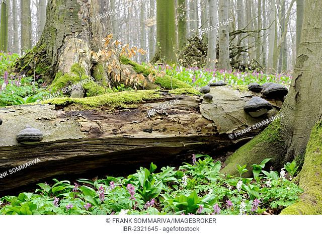 Dead wood in a beech forest (Fagus sylvatica), with tinder fungus (Fomes fomentarius) in the spring, UNESCO World Natural Heritage, Hainich National Park