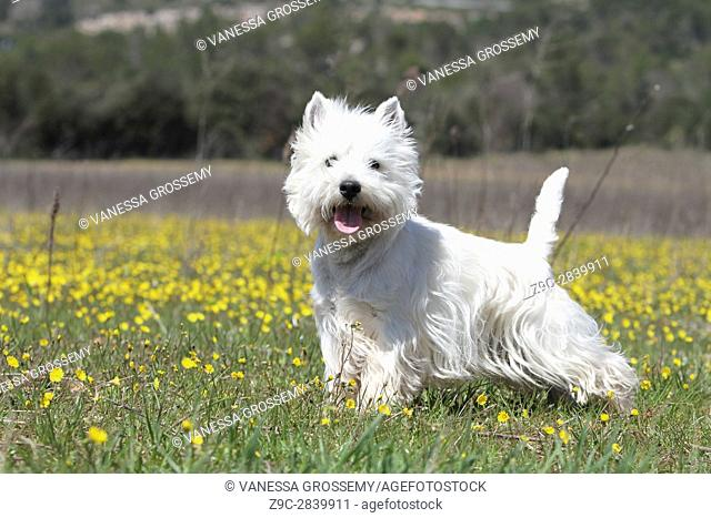 Dog West Highland White Terrier Westie
