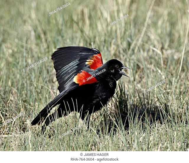 Male red-winged blackbird Agelaius phoeniceus displaying, Pawnee National Grassland, Colorado, United States of America, North America