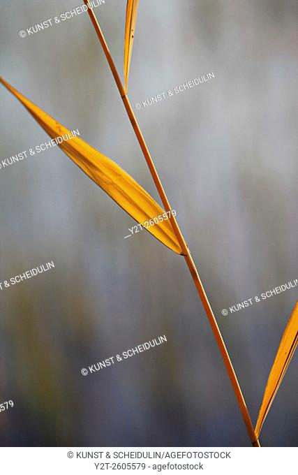 Autumn colored rushes at the shore of a lake