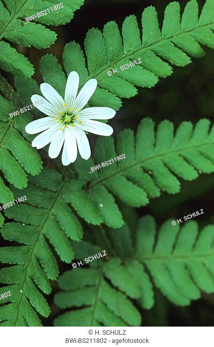 easterbell starwort, greater stitchwort (Stellaria holostea), flower between male-fern, Germany, Schleswig-Holstein