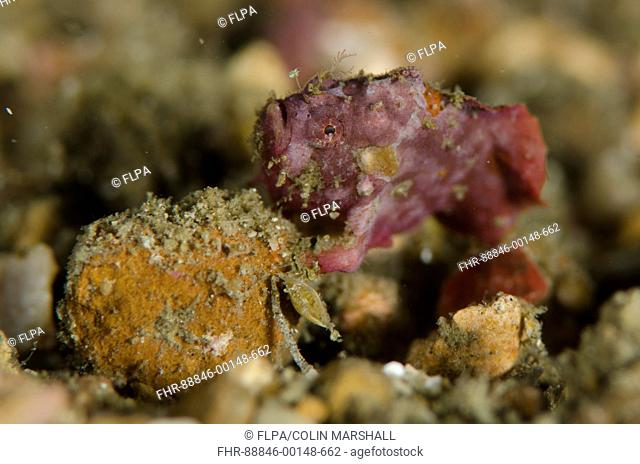 Spotfin Frogfish (Antennatus nummifer), Critter Hunt dive site, Lembeh Straits, Sulawesi, Indonesia