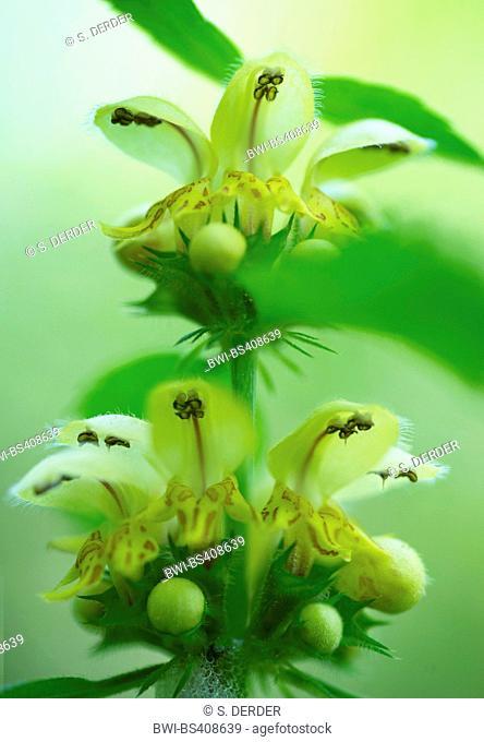 Yellow archangle (Lamium montanum, Galeobdolon montanum), flowers, Germany, Bavaria, Oberbayern, Upper Bavaria