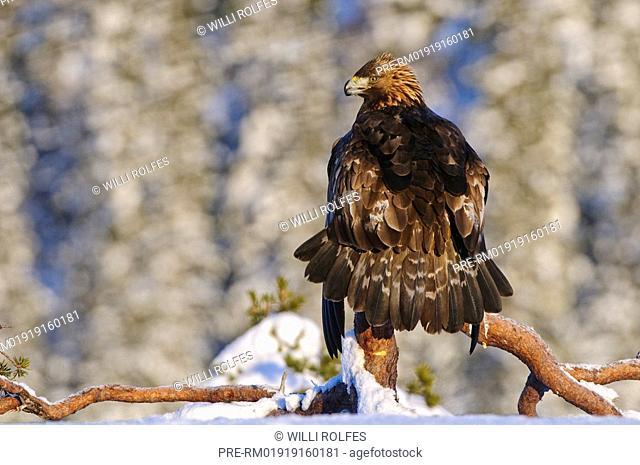Bald Eagle in winter, Aquila chrysaetos, Norway, Scandinavia, Europe