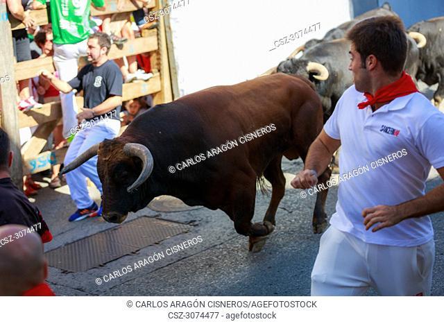 AMPUERO, SPAIN - SEPTEMBER 10: Bulls and people are running in street, encierro, during festival in Ampuero, celebrated on September 10, 2016 in Ampuero, Spain