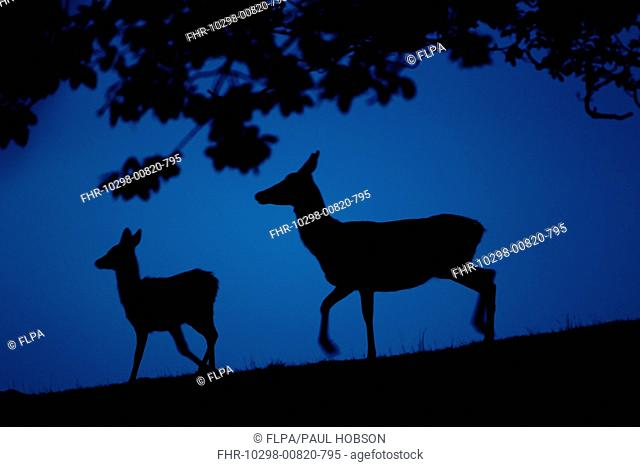 Red Deer Cervus elaphus hind and calf, silhouetted at dusk, during rutting season, Bradgate Park, Leicestershire, England, november