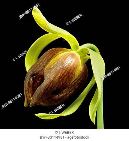 California pitcher plant, Cobra Lily Plant (Darlingtonia californica), flower