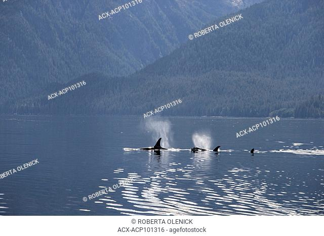 Orca (Orcinus orca), northern British Columbia, Canada