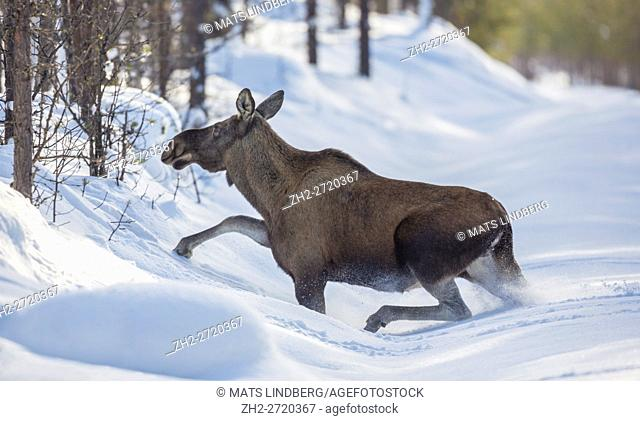 Moose running in deep snow oveer a snow covered road, Swedish Lapland, Gällivare, Sweden