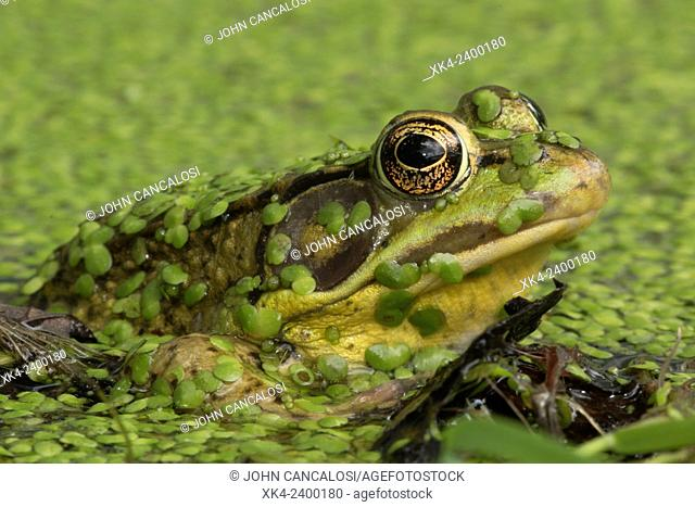 Green frog (Lithobates clamitans), District of Columbia, USA