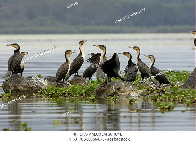 White-necked Cormorant Phalacrocorax carbo lucidus group on rocks in water, Lake Naivasha, Kenya
