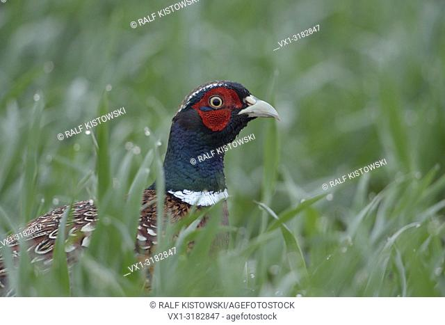 Ring-necked Pheasant ( Phasianus colchicus ), adult male, cock, in midst of growing winter wheat, head shot. .