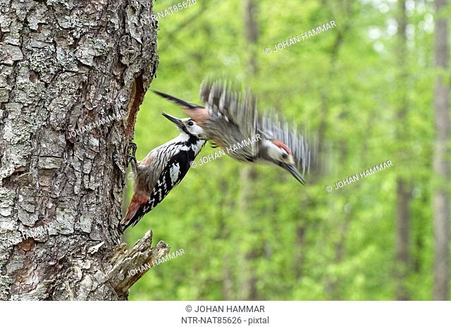 White-backed woodpeckers perching on tree, close-up