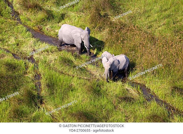 African Elephant (Loxodonta africana), roaming in a freshwater marsh, aerial view, Okavango Delta, Botswana. . The Okavango Delta is home to a rich array of...