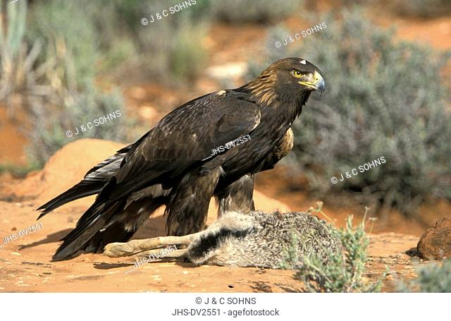 Golden Eagle, Aquila chrysaetos, Bryce Canyon Nationalpark, Utah, USA, adult with prey