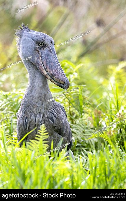 Africa, Uganda, Mabamba swamp, Shoebill (Balaeniceps rex), hunting for dipneuste (protoptera = pulmonary bony fish that bury themselves in the mud when water...