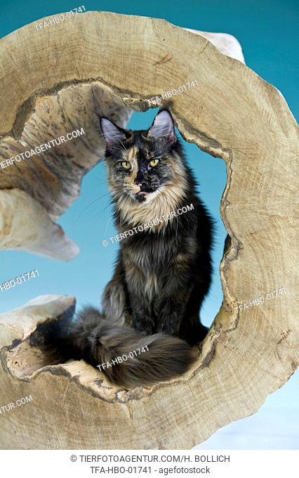 sitting Maine Coon