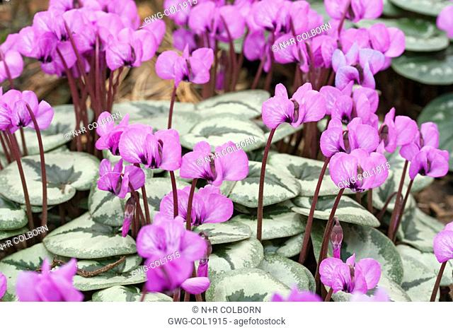 CYCLAMEN COUM 'ROSE SHADES'