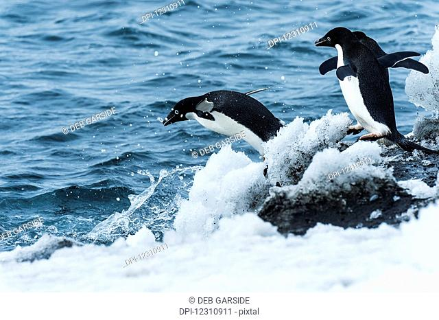 Adelie penguins (pygoscelis adeliae) jumping in the water; Antarctica