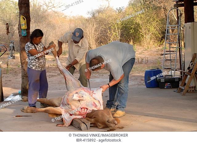 Traditional slaughtering of cattle in Paraguay