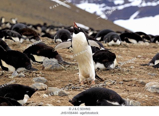 Adelie Penguin, (Pygoscelis adeliae), Antarctica, Devil Island, adult courting at nest in rookery