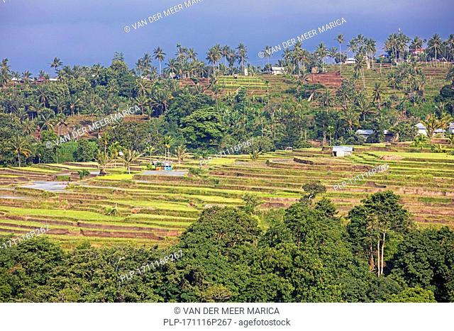 Coconut trees and terraced rice fields on the slopes of Mount Rinjani, active volcano on the island Lombok, Indonesia
