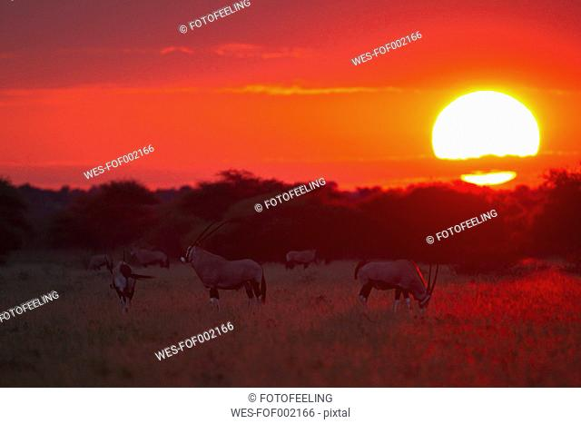 Africa, Botswana, Gemsbok in central kalahari game reserve at sunset